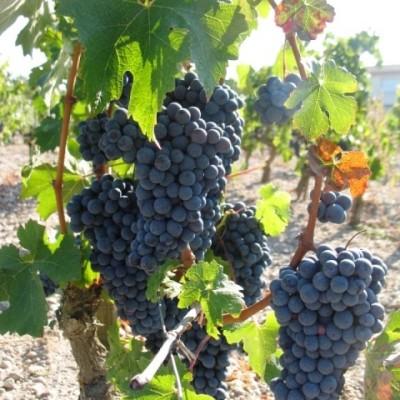 cep-de-vigne-et-raisins